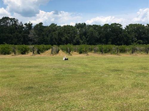 Putnam County Vineyard - 18 Acres : Satsuma : Putnam County : Florida