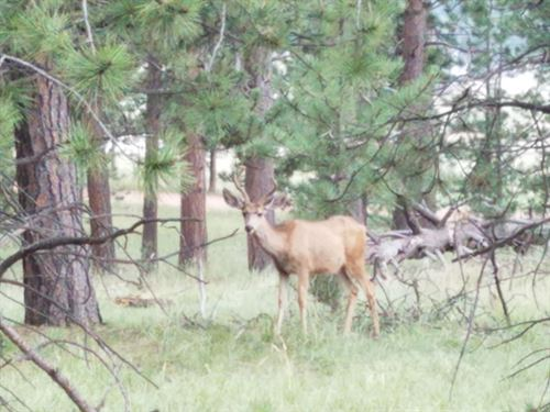 Beautifully Treed Property : Florissant : Teller County : Colorado