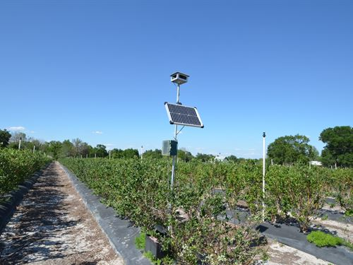 Certified Blueberry Farm : Arcadia : Desoto County : Florida