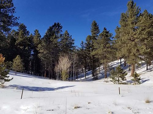 Treed With Southern Sun : Divide : Teller County : Colorado