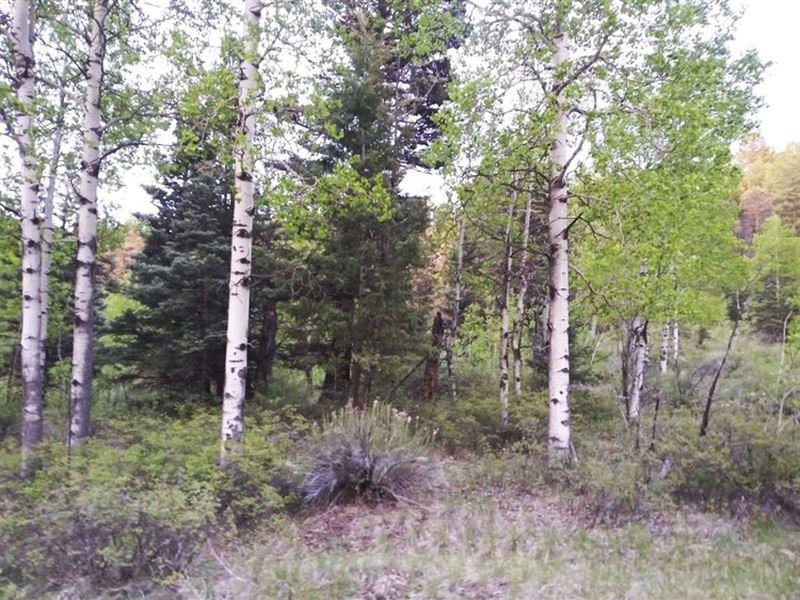 Aspens And Evergreens : San Luis : Costilla County : Colorado