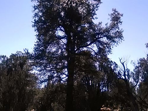 Treed Land, Road Access, $145/Mo : Seligman : Yavapai County : Arizona