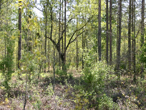 4 Acres : Lake City : Suwannee County : Florida