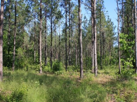 20 Acres Of Planted Pines : Riddleville : Washington County : Georgia
