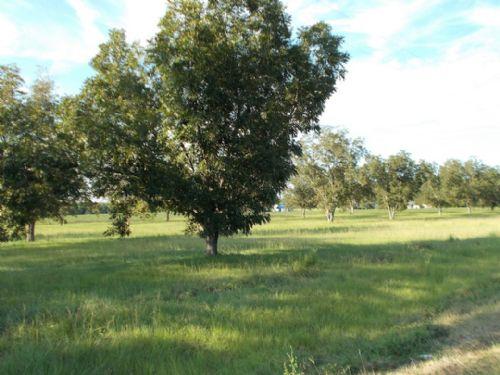 Pecan Trees, Road Frontage, Nice : Screven : Wayne County : Georgia
